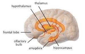 Frontal-lobes-amygdala